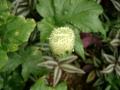 Dorstenia contrajerva2