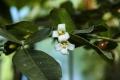 Triphasia_trifolia_flower[1]