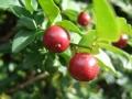 Triphasia_trifoliata_fruits[1]