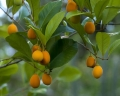 Goetzea_elegans_fruit[1]
