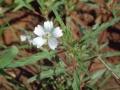 Monsonia angustifolia2[1]