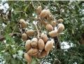 Licania pyrifolia