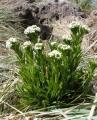 Phlebolobium maclovianum