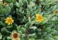 Borrichia_arborescens2.jpg