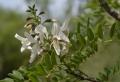 myrospermum.jpg