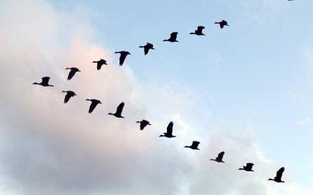 渡り鳥のV字隊列飛行