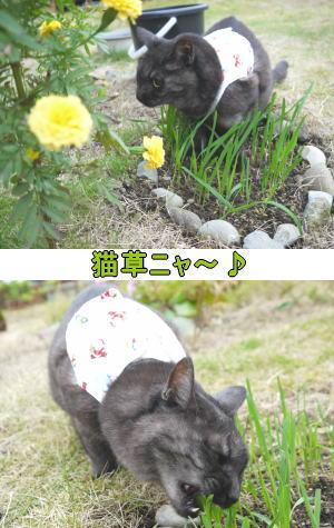 猫草ニャ~