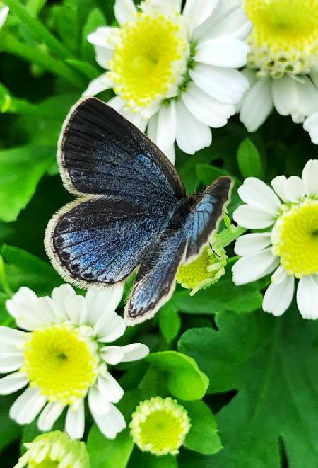 シジミ蝶-477