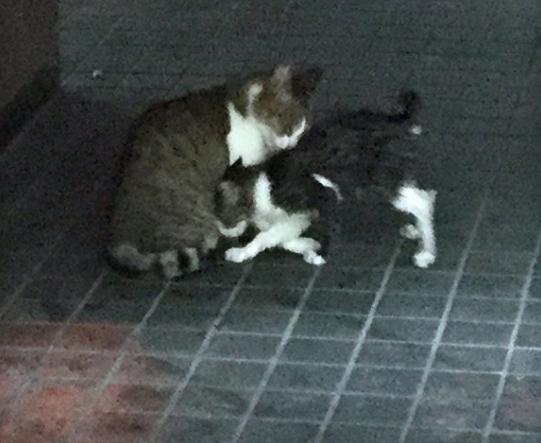 無事に側溝からはい上がり、母猫とみられる猫とじゃれあう子猫(右)=長崎市新地町で2019年10月1日午前8時43分、浅野翔太郎撮影