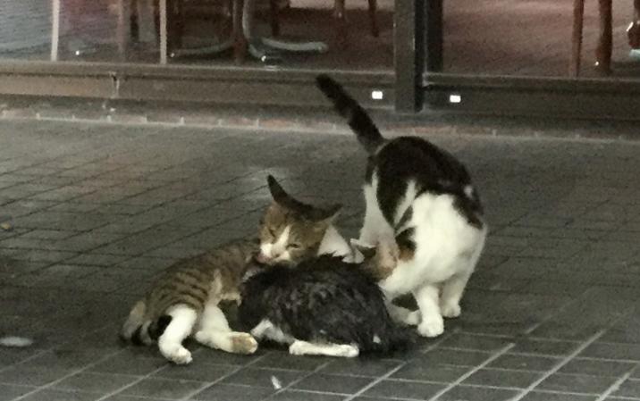 救出後、母猫の乳を吸うずぶぬれの子猫(手前黒っぽい猫)と母猫と見られる猫(左奥)、じゃれつく父とみられる猫(右)長崎市新地町で2019年10月1日午前8時48分、浅野翔太郎撮影