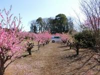 養蜂場周辺はお花でいっぱい♪(20200311)