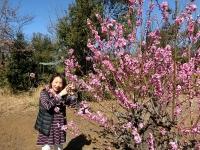 花ももの木、満開です(20200303)