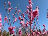 養蜂場の花桃の木(20200303)