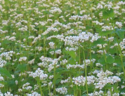 007蕎麦の花