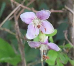 002クコの花