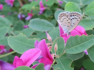 018シジミ蝶