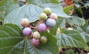 036野葡萄