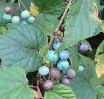 038野葡萄