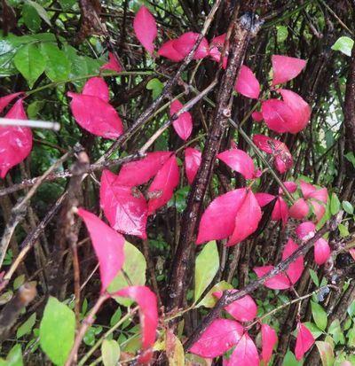 013ニシキギ紅葉