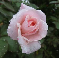 006秋の薔薇