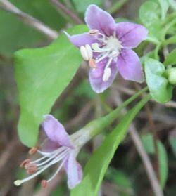 018クコの花