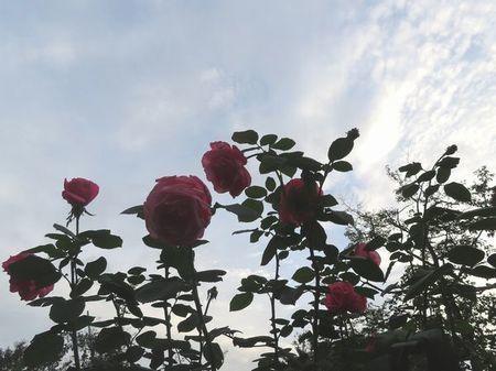018薔薇・マガリ