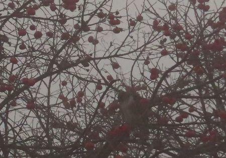008柿の木