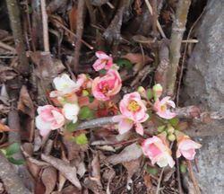 006ボケの花