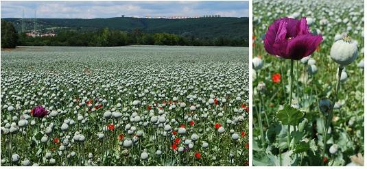 ヨーロッパの畑 G