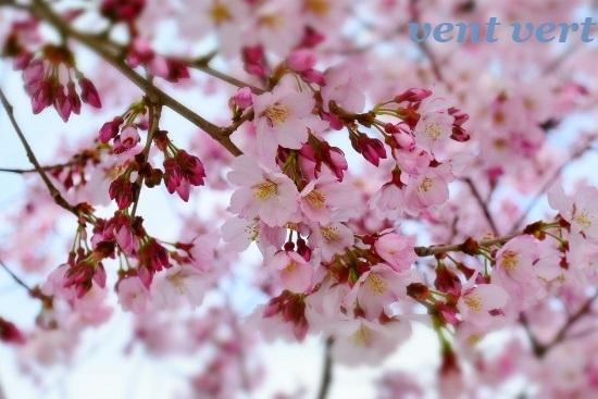 2020桜4