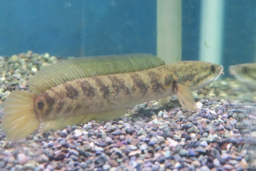 20200118魚 (4)