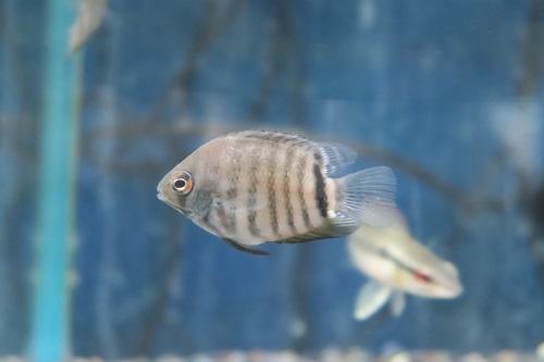 20200216熱帯魚 (4)