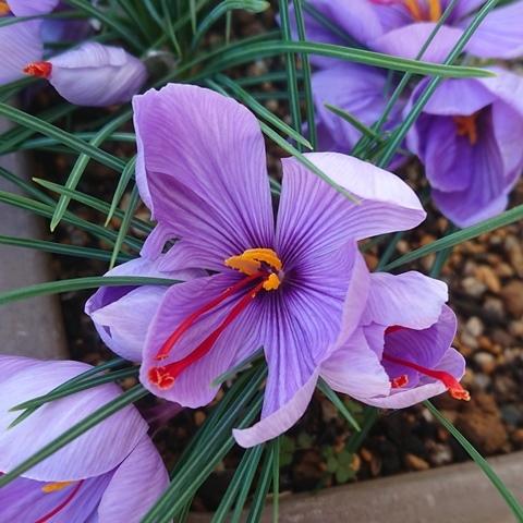saffron191129a.jpg