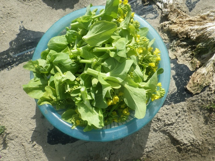白菜の畝6_20_03_21