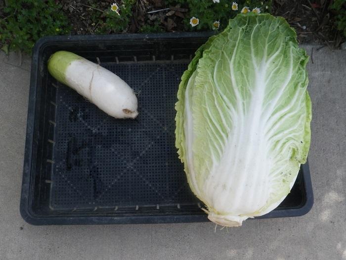 白菜の畝7_20_03_21