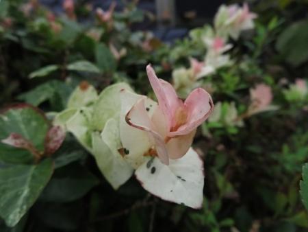 牡丹の花の種子 2019-10-01 019