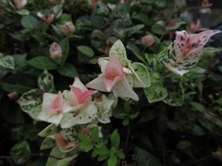 牡丹の花の種子 2019-10-01 022