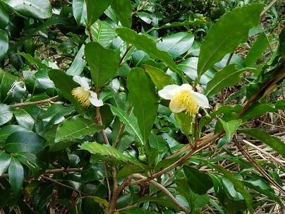 お茶の花ー4