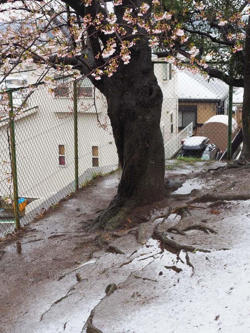 雪と桜 2020年3月29日