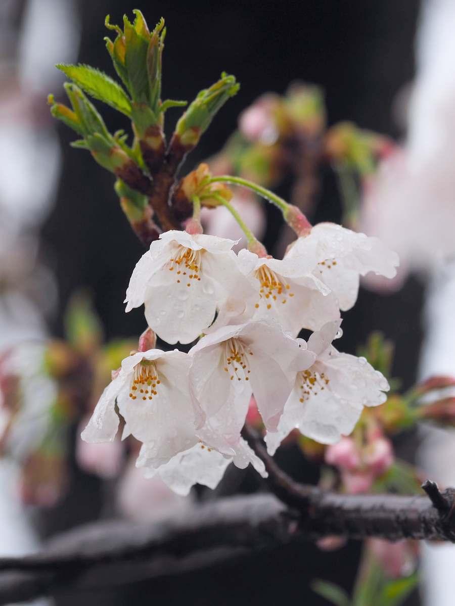 雪の日の桜 2020年3月29日