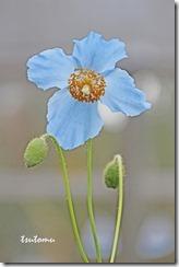 20020413ヒマラヤの青いケシS