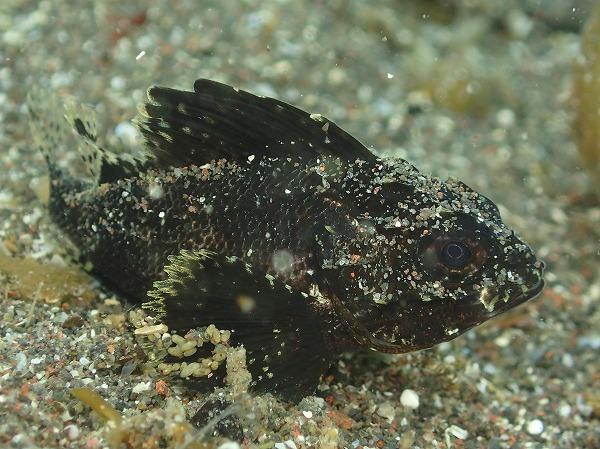201906ヒレナガカサゴ幼魚