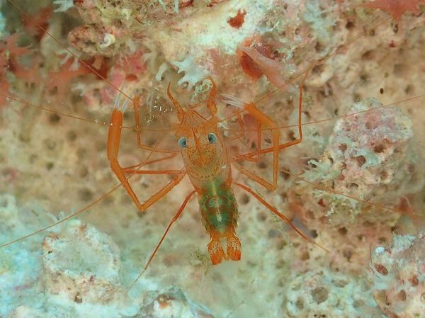 シノノメスベスベオトヒメエビ