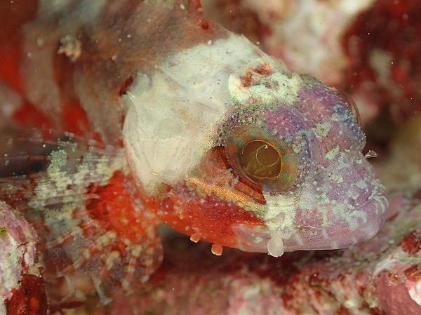 サンゴカサゴ