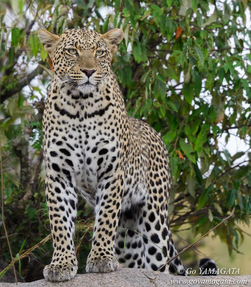タンザニア、セレンゲティ国立公園のヒョウ
