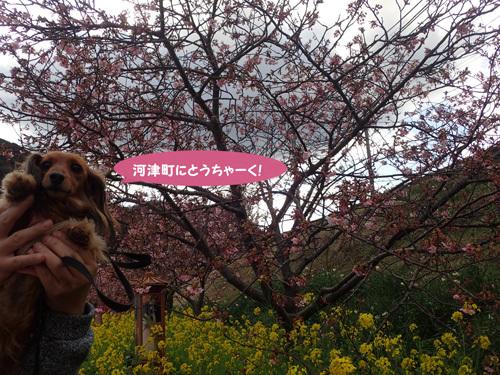 kawazu1.jpg