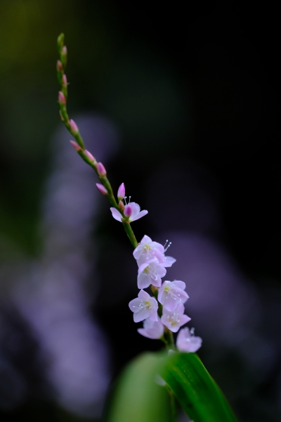 (86)清楚な美しさ(サクラタデ_四季の郷公園_X-T2 80M)DSCF6489