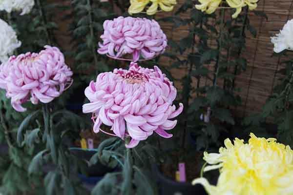 ピンクの菊の画像
