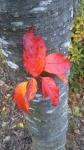 公園の紅葉A