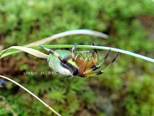美女鬼蜘蛛